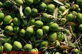 橄榄果烘干机 橄榄果烘干房 橄榄果烘干设备