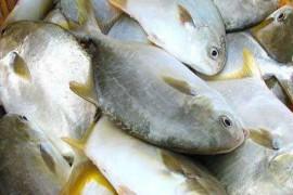 金鲳鱼烘干工艺,金鲳鱼干怎么烘干